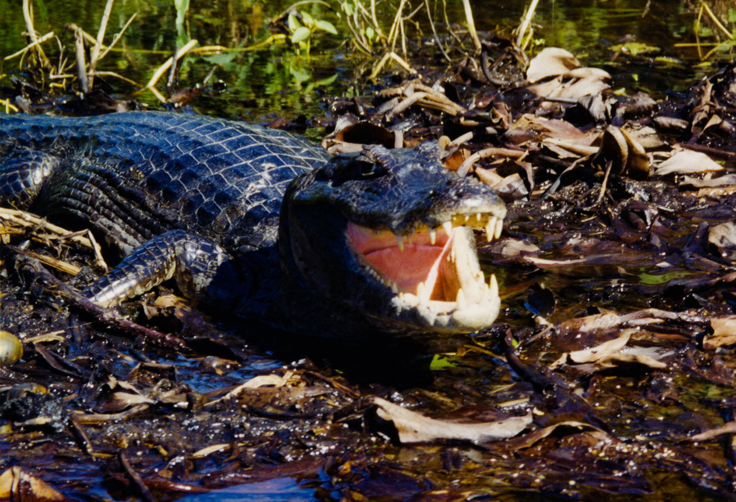 <p>A caiman (yacare) rests in the Pantanal wetlands of western Brazil. The menacing pose is actually a way for the caiman to regulate its body temperature, although this photographer must admit it is a touch intimidating to get this close. Shot from a canoe somewhere in the Pantanal wetlands.<br /></p>