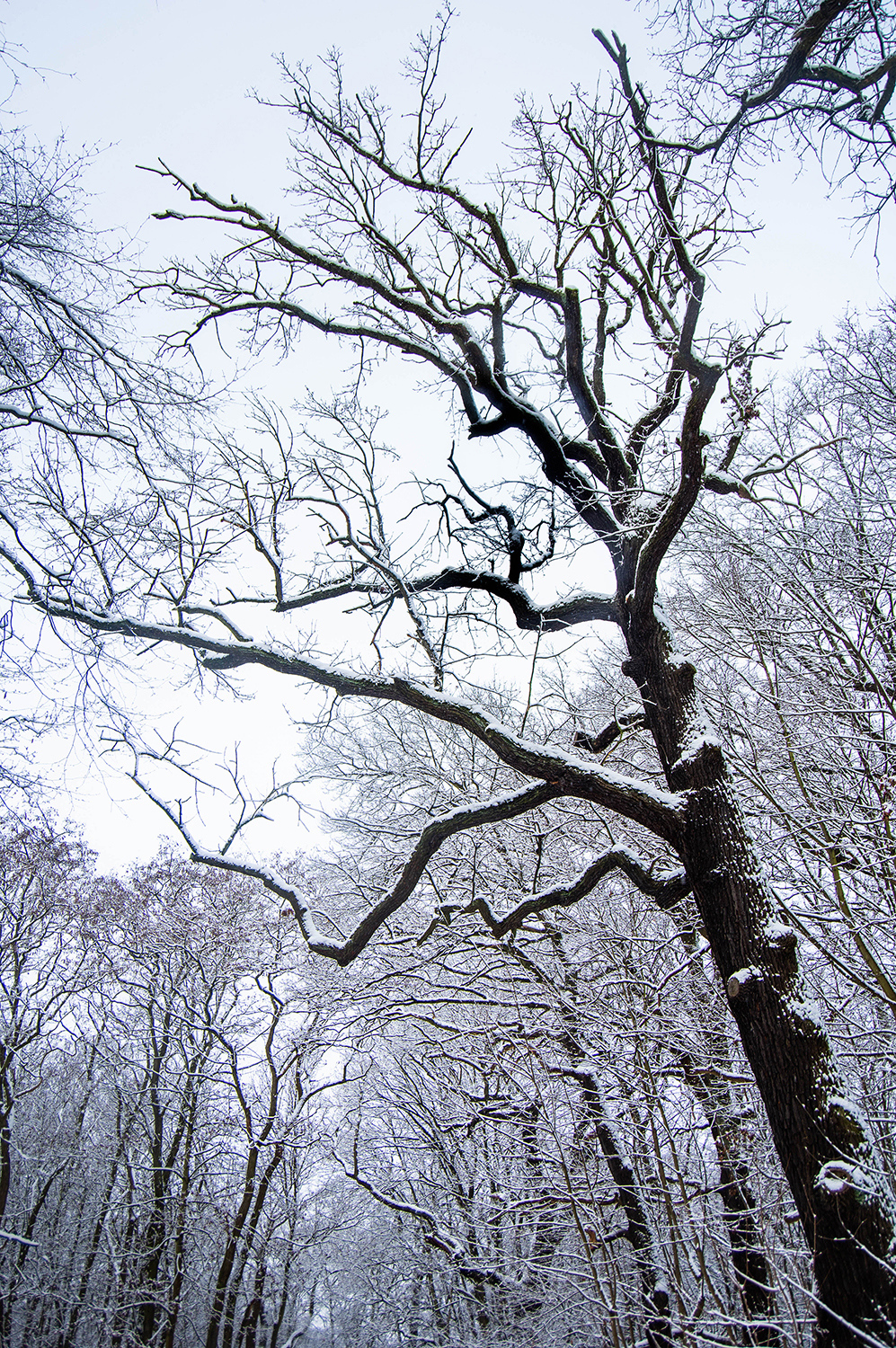 <p>A tall oak and other trees coated just perfectly during a rare Berlin snowfall. <br /></p> <p>As I took this picture, a woman walking her dog passed by and said 'No one will ever believe those pictures are from Berlin'. Fair point.</p>