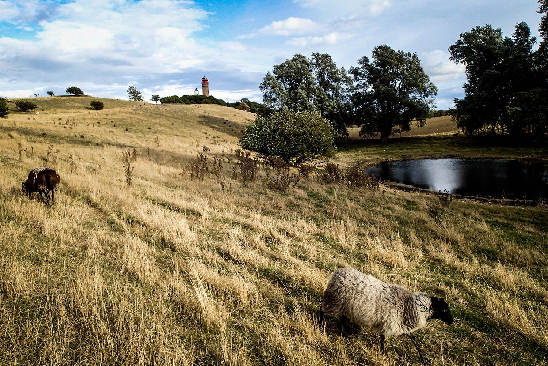 <p>Sheep graze near Cape Arkona, on the German island of Rügen.</p>