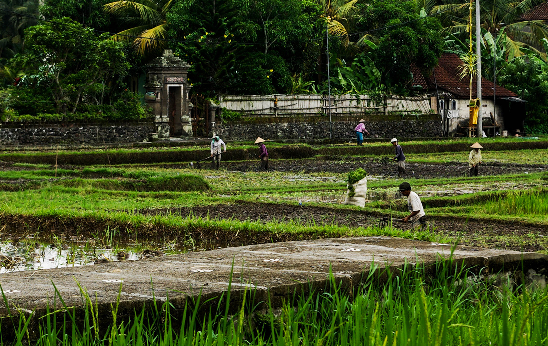 <p>Farmers harvesting rice near Ubud.</p>