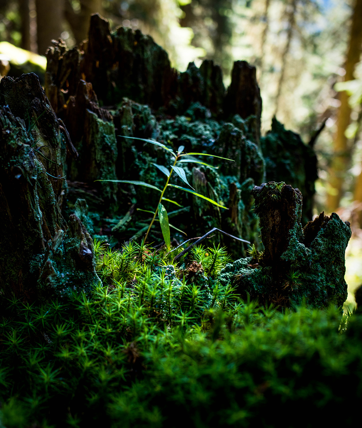 <p>A miniature forest grows in a tree stump that resembles the jutting peaks of the Dolomites, where this photo was taken.<br /></p>