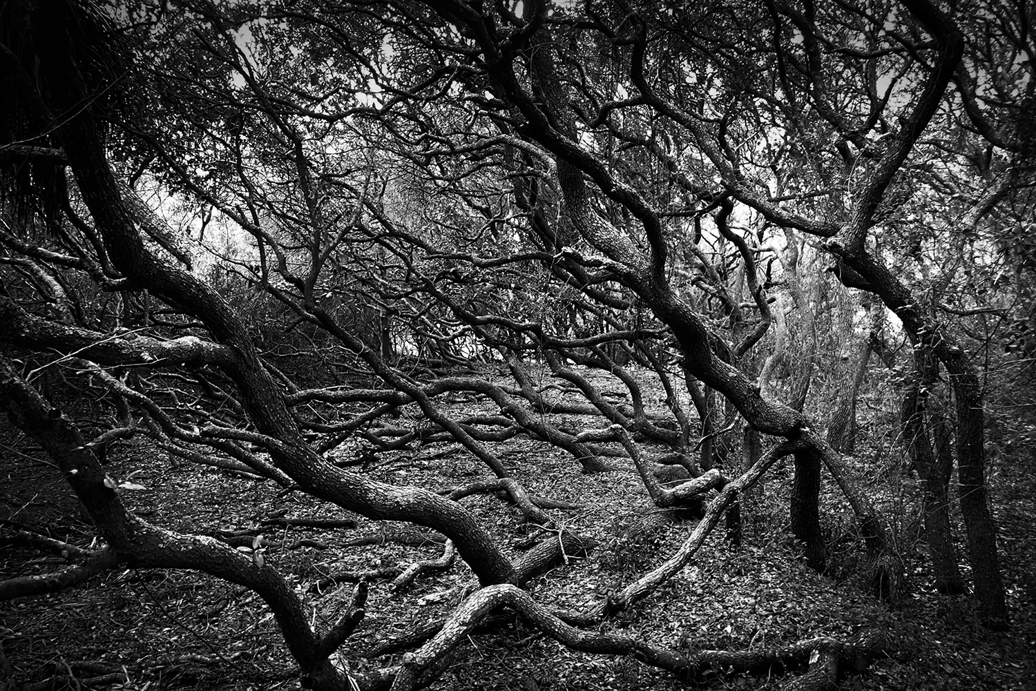 <p>These trees are shaped by the winds that come in off the Atlantic, as well as the sandy soil they took root in.</p>