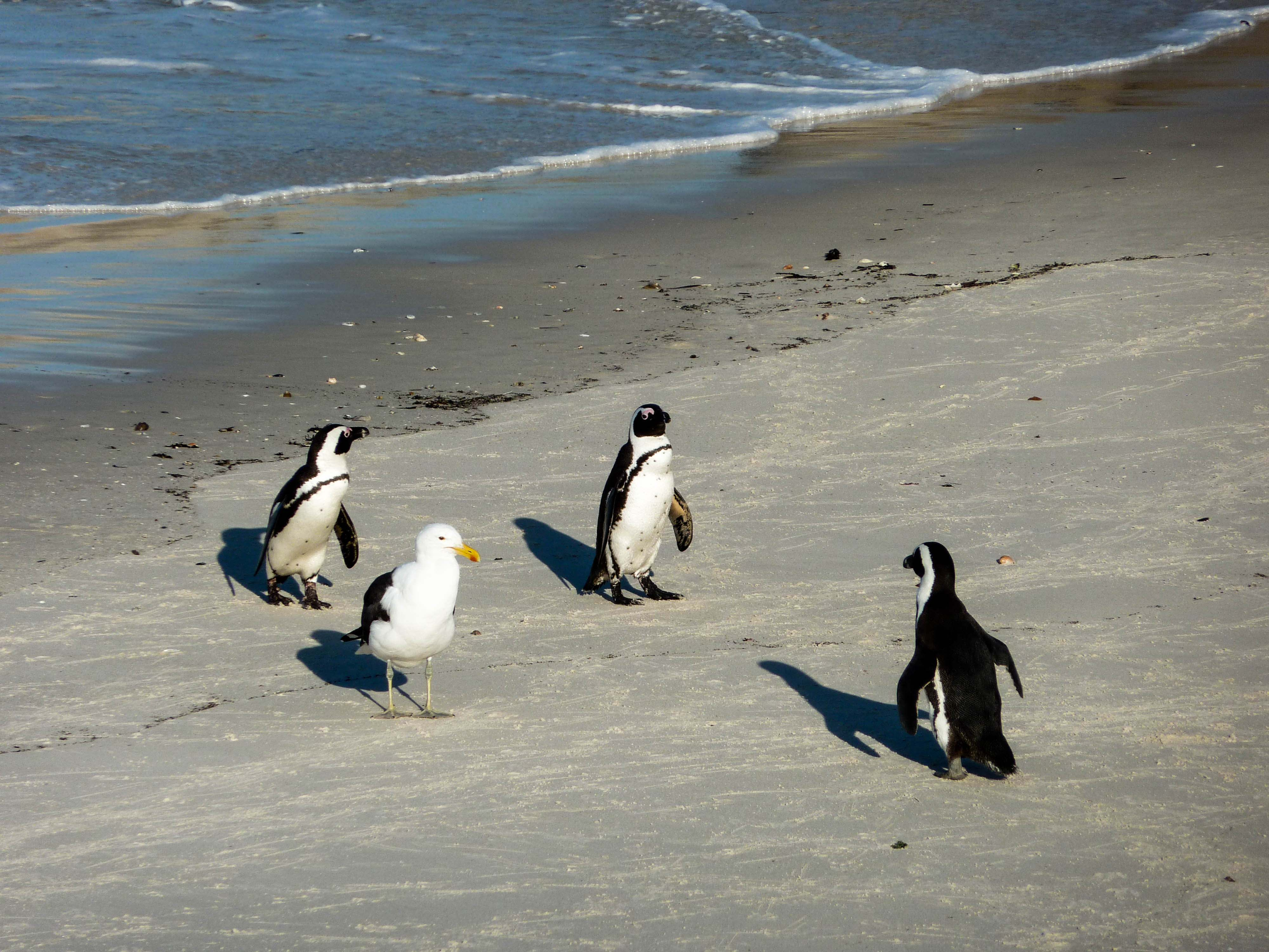 <p>Three African penguins eye an interloping seagull with seeming suspicion. Will they get along?</p>