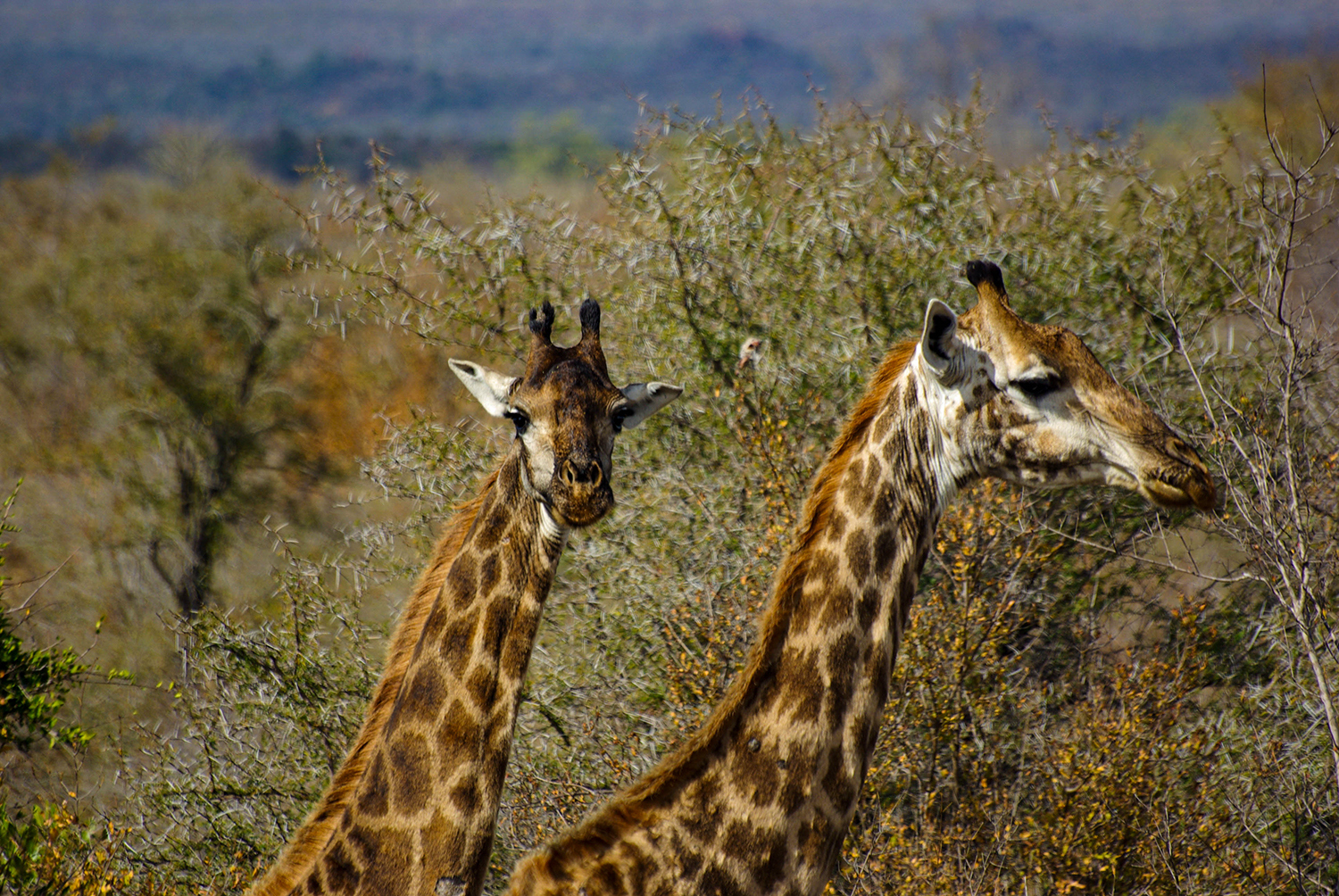 <p>A close-up of two giraffes crossing the bushveld. </p>