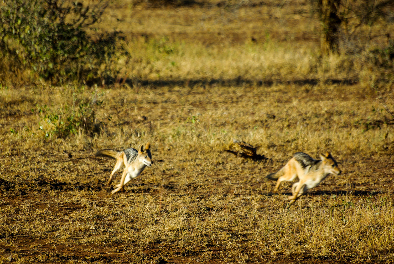 <p>Two jackals go from 'conversation' to chasing each other in an instant.</p>