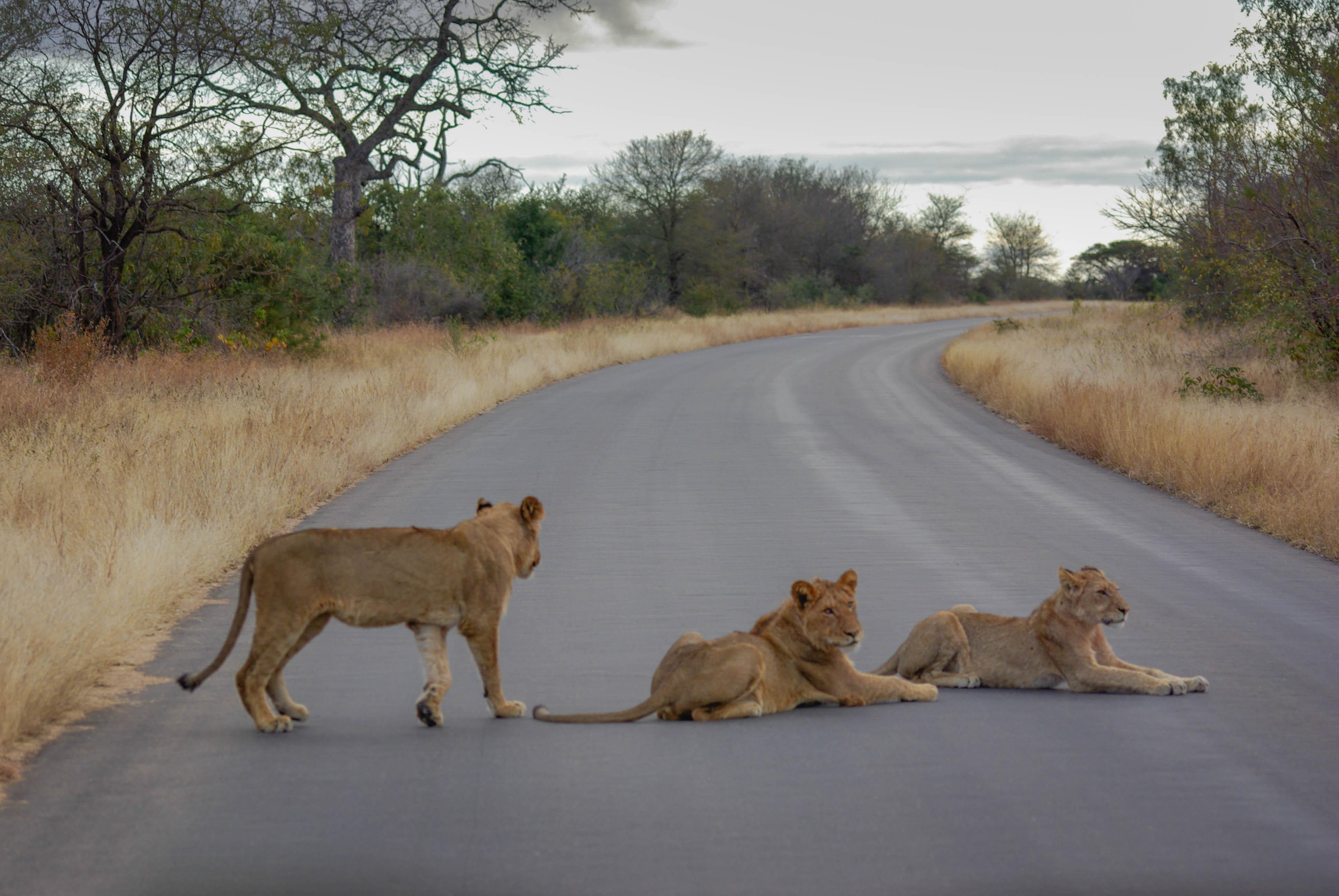<p>Three clever lionesses make a roadblock to allow their cubs to cross the road.</p>