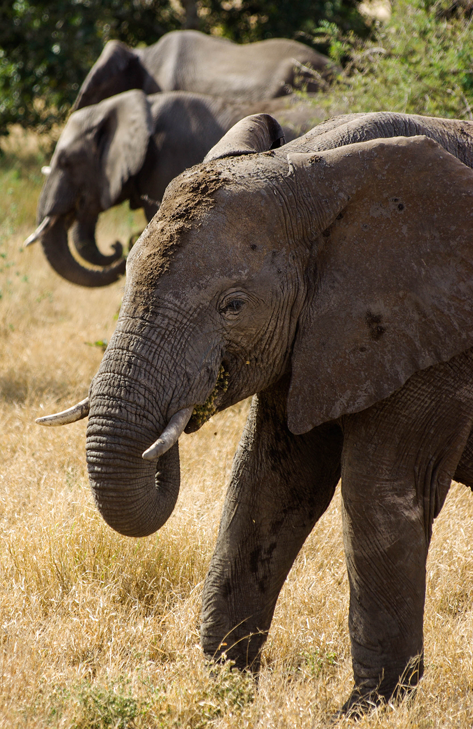 <p>Three elephants curl their trunks and eat in sync.</p>